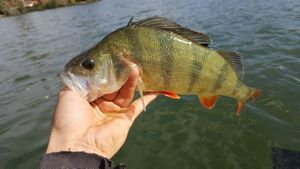 European Perch — Ben Ji