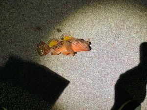 Red Scorpionfish — Arnaud Malizia