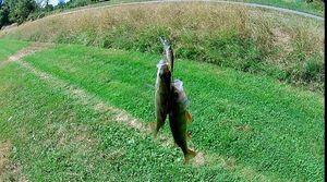 European Perch — CarnaFiF Fishing
