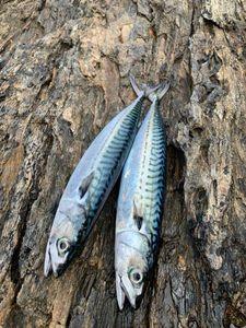 Mackerel — gxlabraxfishing 🐟🎣