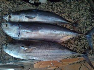 Skipjack Tuna — Mário Rodrigues
