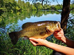 Largemouth Bass — Théo d