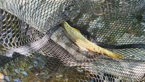 Brown Trout — Simon Nogaret