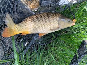 Common Carp — Fabrice Cavenaile