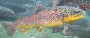 Puccini Brown Trout