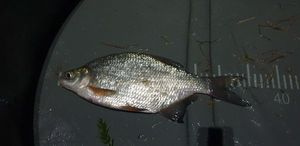 Blue Bream