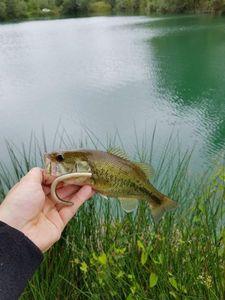 Largemouth Bass — Flo regnier