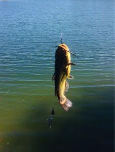 Poisson-Chat (Barbotte Noire) — ST fishing 47
