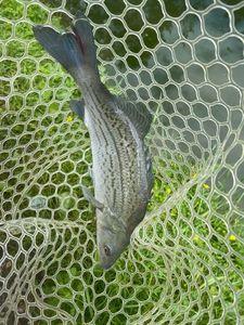 Striped Bass (Landlocked)