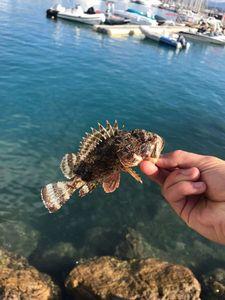 Brown Scorpionfish — Adrien Baugiraud