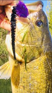 Largemouth Bass — Olivier fisherman