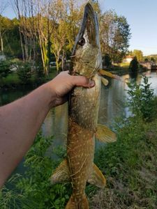 Northern Pike — Robin Monkey Fishing