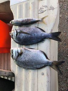 White Seabream — Côme rockfishing