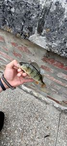 European Perch — .  GGfishing27 .