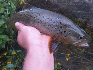 Brown Trout — Vincent Jacquemont