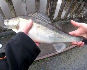 Zander — Limouzifishing Limouzifishing