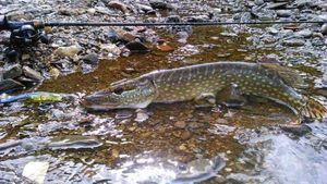 Northern Pike — Jerome Guillon