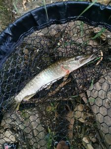Northern Pike — Brousse  Anthony