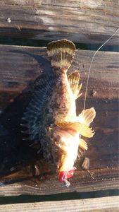 Brown Scorpionfish — Flx Tlvrd