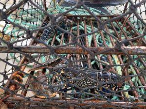 European Lobster — Johann Leux