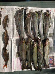 European Perch — Fred Bestion