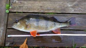 European Perch — Tom BRF