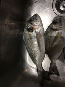 Gilthead Seabream — David Villa