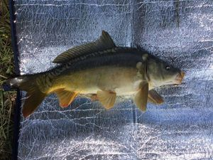 Mirror Carp — Clement Pages