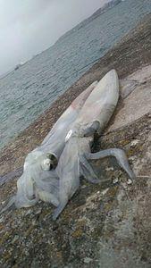 European Squid