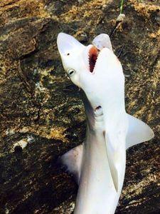 Requin Gris