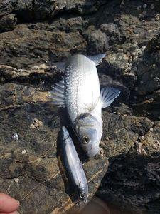 European Bass (Seabass) — Jeremie Gaubert