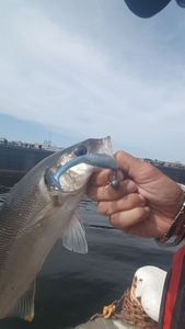 European Bass (Seabass) — Fishing For You