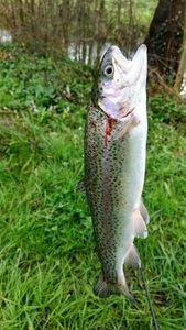 Truite Arc-en-Ciel — LR Fishing