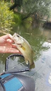 Largemouth Bass — Shadow 33