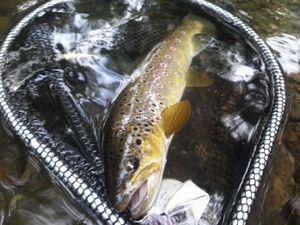 Brown Trout — Loïc passion pêche