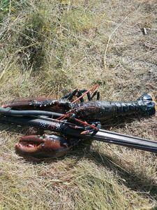 European Lobster — Jason NICOVIOTIS