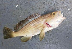 Badèche (Epinephelus Costae)