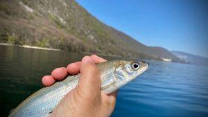 European Whitefish