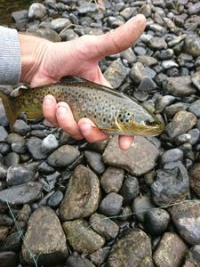 Brown Trout — Anto Ny