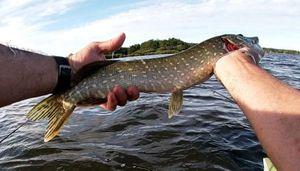 Northern Pike — FALC FISHING