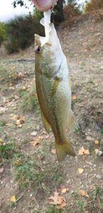 Largemouth Bass — Willy Benoni