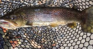 Marble Trout