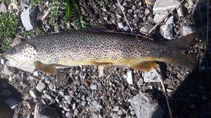 Brown Trout — Zartafishing 04