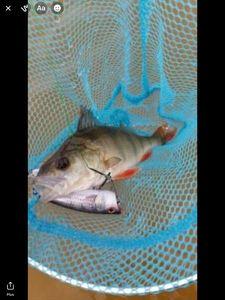 European Perch — Pêche Et Fish
