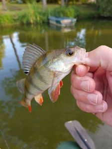 European Perch — Olivier Chareton