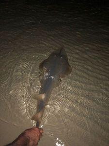 Shovelnose guitarfish  — Gary Bull