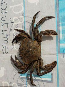 Velvet Swimming Crab — Guillaume Ouec