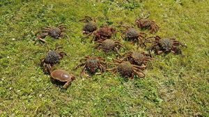 Araignée de Mer Atlantique — Dav Leg