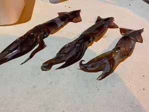 European Squid — Nicolas Pellegrino