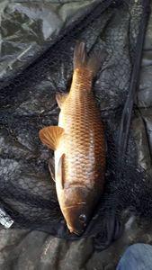Common Carp — Nicolas Danhiez